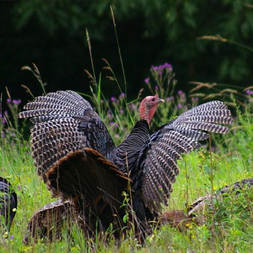 élevage volailles fermières polignac 43 elevage volailles le puy en velay haute loire 43